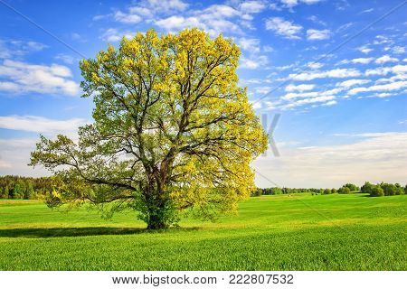 large green tree on spring meadow in bright sunny day. Beautiful spring nature. picturesque tree on green field. Landscape of spring field with  branchy tree