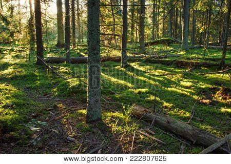 Landscape of green forest nature at spring. Sun in forest. Scenery green nature. Woodland