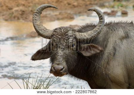 Water buffalo in Yala National Park in Sri Lanka