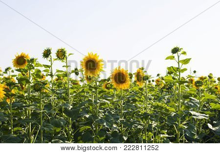 Sunflower field in sunny summer day. Field of sunflowers. Head of sunflower with seeds.