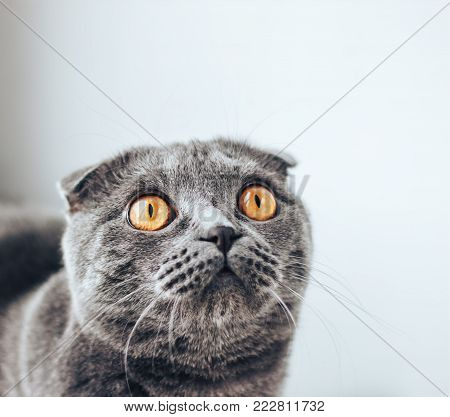 Purebred cats. Pets. Scottish cat sitting on bed and and looking up