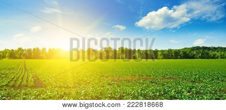 Picturesque green beet field and sun on blue sky. Agricultural landscape. Wide photo.