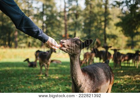 A volunteer feeds a wild deer in the forest. Caring for animals