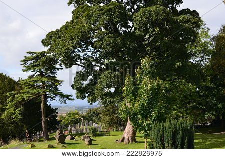 Pretty and old tree living in a scottish graveyard