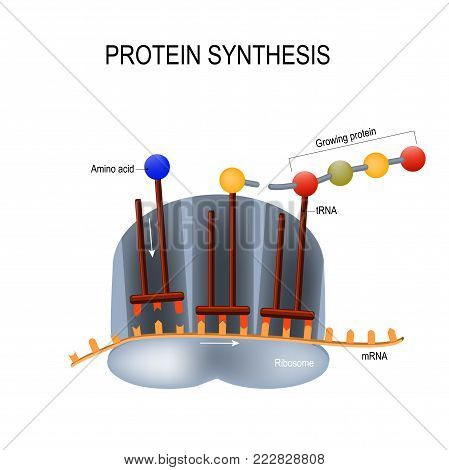 Protein Synthesis. Ribosome assemble protein molecules (by using tRNA). sequence is controlled by messenger RNA molecules (mRNA).