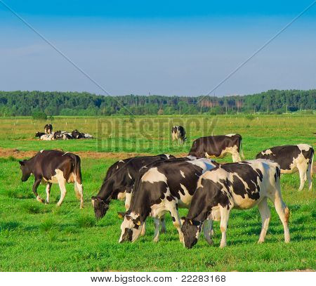 Grazing On a meadow Producing Milk