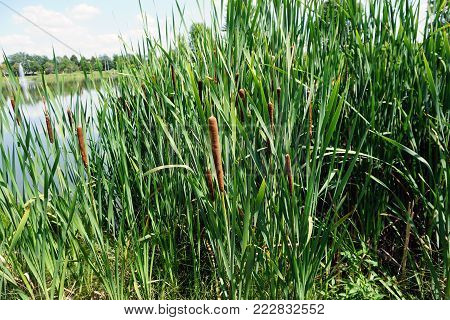 Common cattails (Typha latifolia), also called broadleaf cattails, bulrushes, great reedmace, cooper's reed, and cumbungi, grow in a small lake in Joliet, Illinois during September.