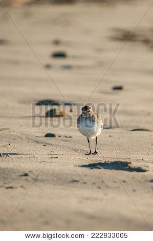 Sanderling bird walking along sandy beach in search of food.
