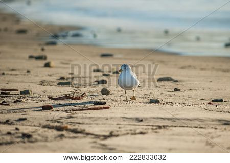 Grey seagull showing web feet while foraging along the sandy shore while looking to left.