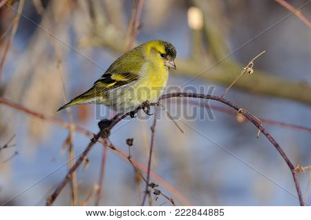 Eurasian siskin (Spinus spinus) in the rays of the rising sun (sitting on the branch with green-blue background).
