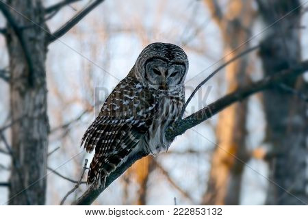 Barred owl strix varia or northern barred owl or hoot owl perched on branch closeup.