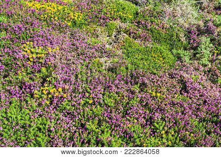 travel to France - heathland in Ploumanac'h site of Perros-Guirec commune on Pink Granite Coast of Cotes-d'Armor department in the north of Brittany in sunny summer day