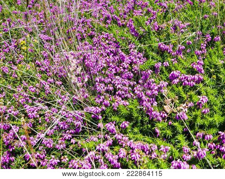 travel to France - heather flowers in Ploumanac'h site of Perros-Guirec commune on Pink Granite Coast of Cotes-d'Armor department in the north of Brittany in sunny summer day
