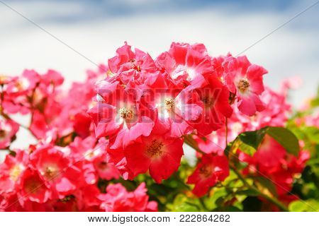 travel to France - pink briar flowers on bush on atlantic coast in Paimpol town in Cotes-d'Armor department of Brittany in summer