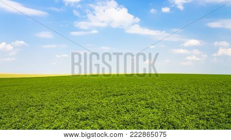 country landscape - green alfalfa field under blue sky with white clouds near commune L'Epine Marne in sunny summer day in Champagne region of France