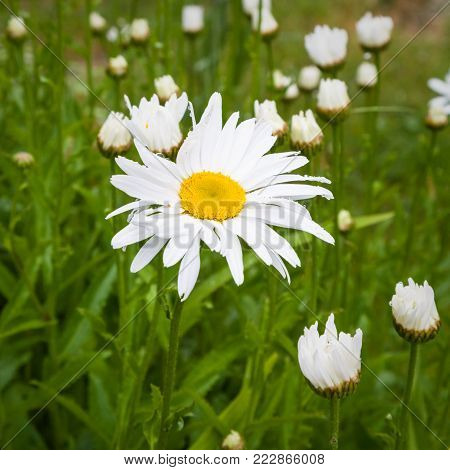 travel in France - daisy flower on green meadow on coast of Gouffre gulf of English Channel near Plougrescant town of the Cotes-d'Armor department in Brittany in summer rainy day