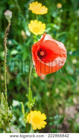 travel to France - red poppy flower on green meadow in Cotes-d'Armor department of Brittany in sunny summer day