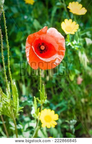 country landscape - red poppy flower close up on green meadow in Cotes-d'Armor department of Brittany, France in sunny summer day