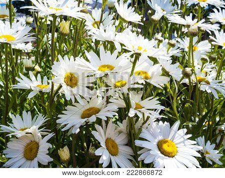 travel to France - many daisy flowers of flowerbed in Cotes-d'Armor department of Brittany in sunny summer day