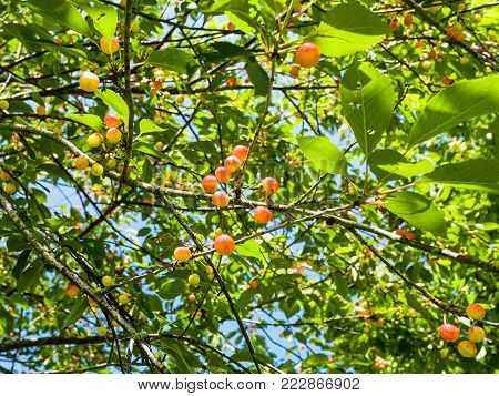 travel to France - cherry tree with red and yellow fruits in Cotes-d'Armor department of Brittany in sunny summer day