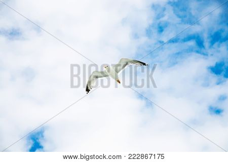 travel to France - seagull hovering in blue sky with white clouds over Atlantic ocean coast in Paimpol region of Cotes-d'Armor department of Brittany in summer