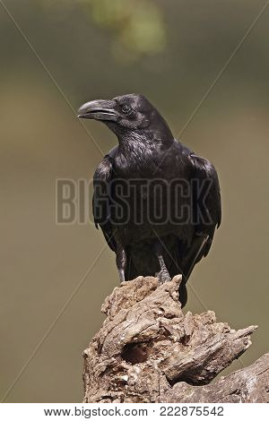 Common raven resting on a branch in its habitat