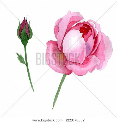 Wildflower tender pink rose flower in a watercolor style isolated. Full name of the plant: tender rose, hulthemia. Aquarelle wild flower for background, texture, wrapper pattern, frame or border.