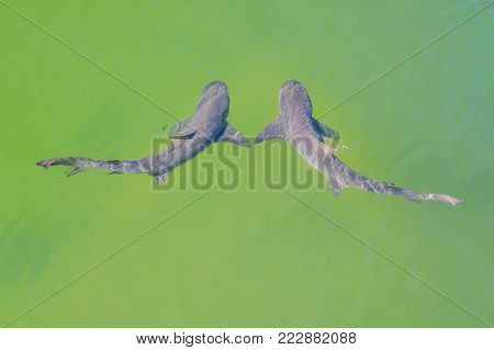 Aerial view of two lemon sharks swimming in australian waters. Denham, in the Shark Bay, on coral coast, Western Australia.