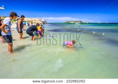 Hamelin Bay, Australia - Jan 1, 2017: child touches Eagle Ray close to shore in WA, one of best places in Australia to spot wild sting rays. The sting ray that live in the bay are unafraid of people.