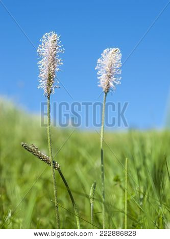 low angle shoot of some hoary plantain flowers in sunny ambiance with blue sky at summer time