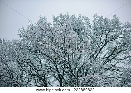 Temperature, freezing, cold snap, snowfall. Tree branches in snow on foggy sky background. Winter nature, natural environment concept. Christmas, xmas, new year holidays celebration.