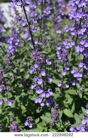 Pretty Shot of Lavender in Full Bloom