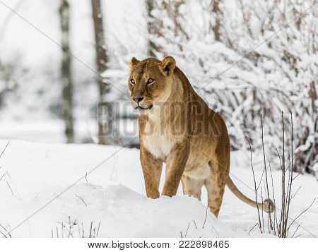Lion, Panthera leo, Lionesse standing in snow, bright background. Captive animal in a zoo in Kristiansand, Norway, the animals often choose to go outside in the cold snow even if they can stay inside.