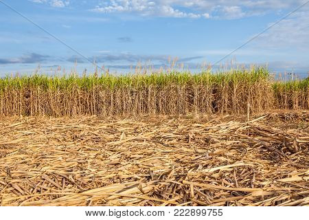 in thailand this field is full of cane sugar