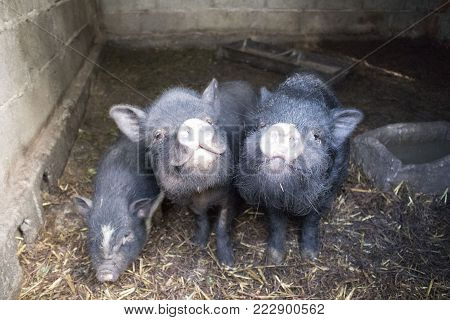 Two parent pigs showing a smile to the camera, while little pig eats