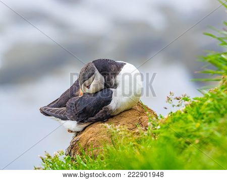 Closeup of Atlantic Puffin resting on a rock at Latrabjarg Cliff in Iceland