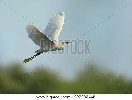 Little Egret (Egretta garzetta) in flight against blue sky, summer in Bulgaria.