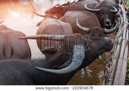 Thai Native Water Buffalo Farm At South Of Thailand .