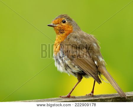 Close-up of European Robin (Erithacus rubecula) against green and yellow background, UK.