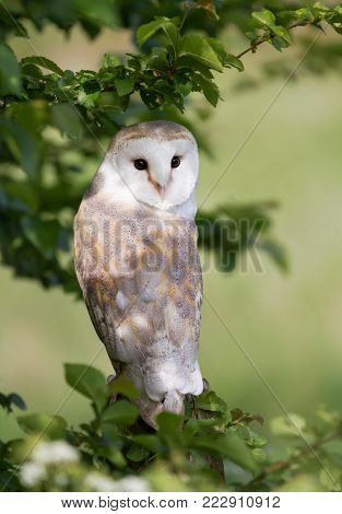 Close up of Barn Owl (Tyto alba) perching in the tree, summer in UK.