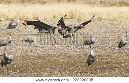 A Sandhill Crane Pair Lands, Rejoining its Winter Surivival Group at Whitewater Draw, Arizona
