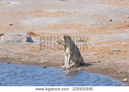 Lion at water pond. Wildlife Safari in Etosha National Park, the main travel destination in Namibia, Africa.