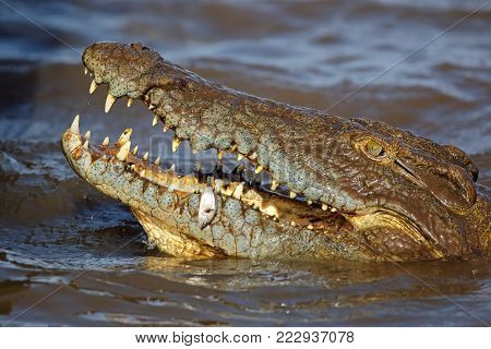 Nile crocodile (Crocodylus niloticus) catching a small fish, Kruger National Park, South Africa