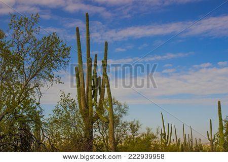 Large Saguaro Cactus With Multiple Arms In Arizona Desert