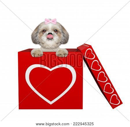 Cute shitzu dog sitting in valentines box. Isolated on white background