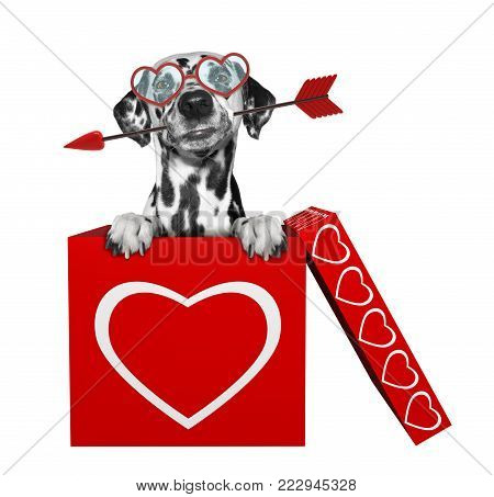 Cute dalmatian dog with arrow sitting in valentines box. Isolated on white background