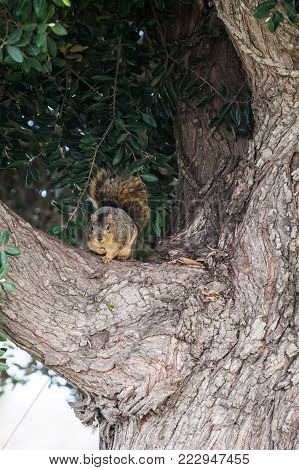 Squirrel with fluffy tail watching from the safety of the tree branch.