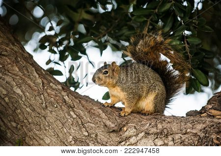 Furry squirrel perched in a tree being cautious while foraging for winter food.