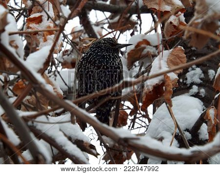 Starling among the snow-covered trees. He did not fly south.