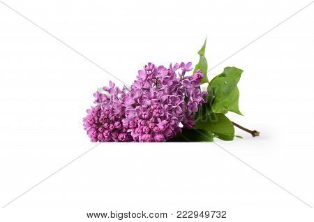 Lilac blooming branch isolated on white background